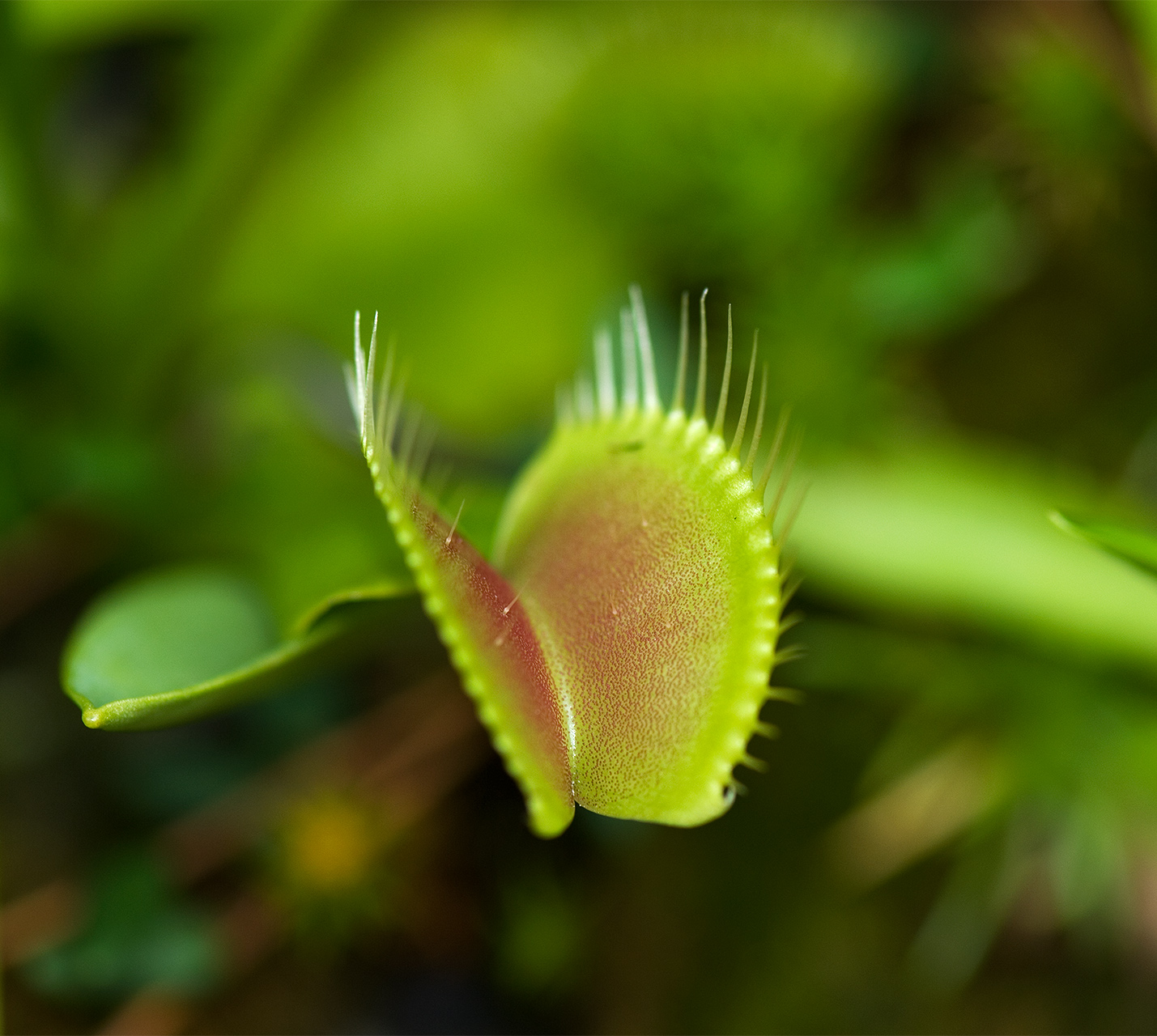 Venus Fly Trap close up