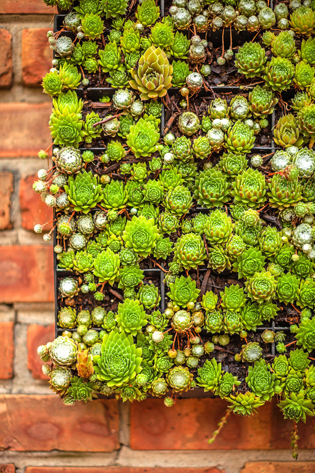 rich green succulents in black boxes on brick surface