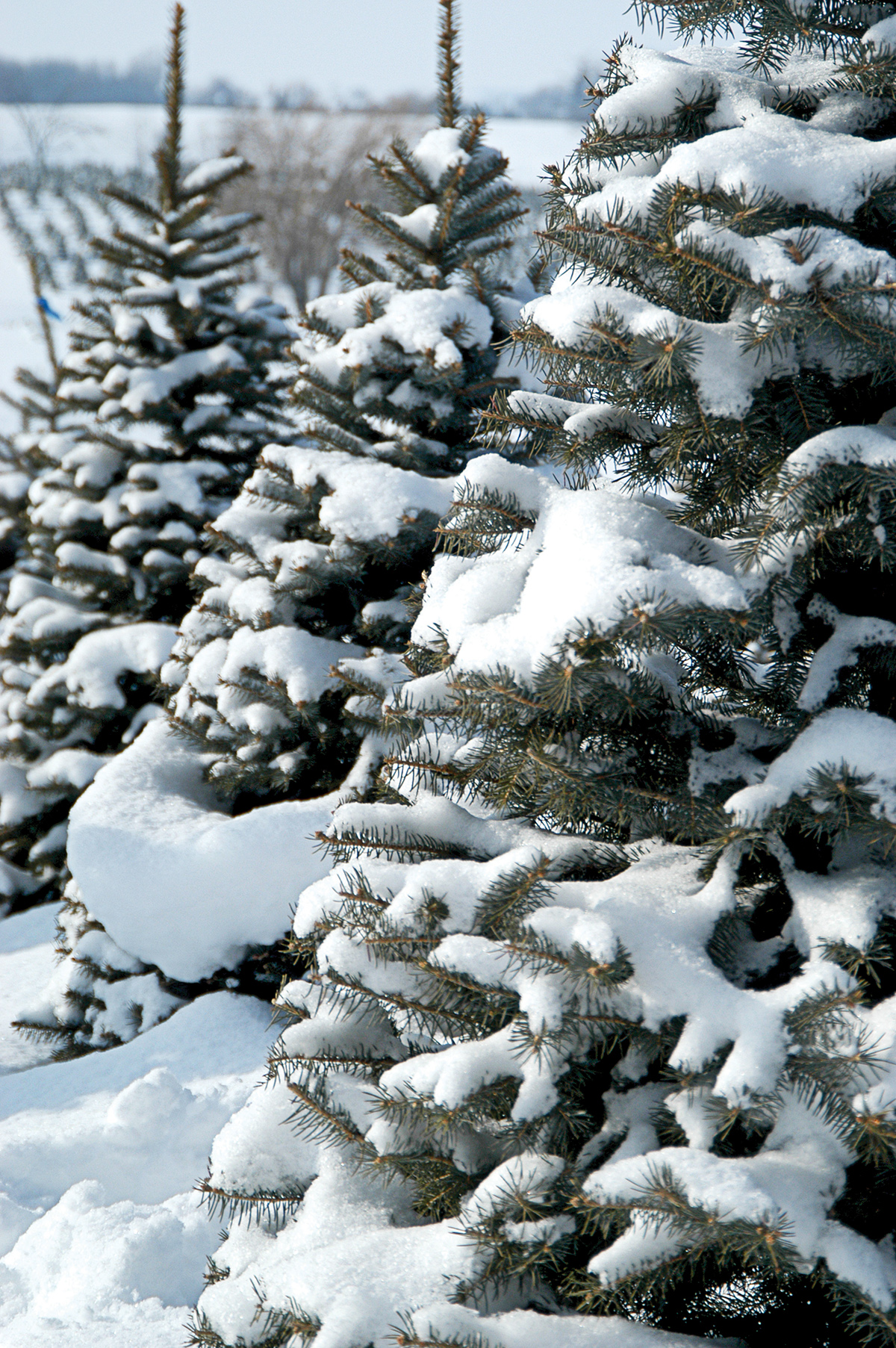 three snow-covered pine trees in lot