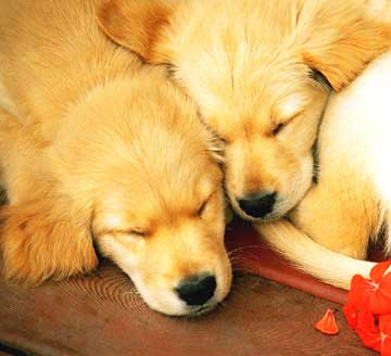 two golden retriever or golden lab puppies sleeping with geranium petals