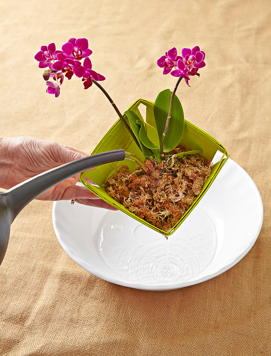 Person watering pink orchid above table