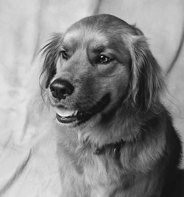 black and white shot of angry retriever
