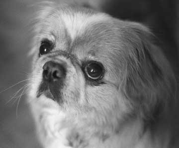 Black and white closeup of small dog