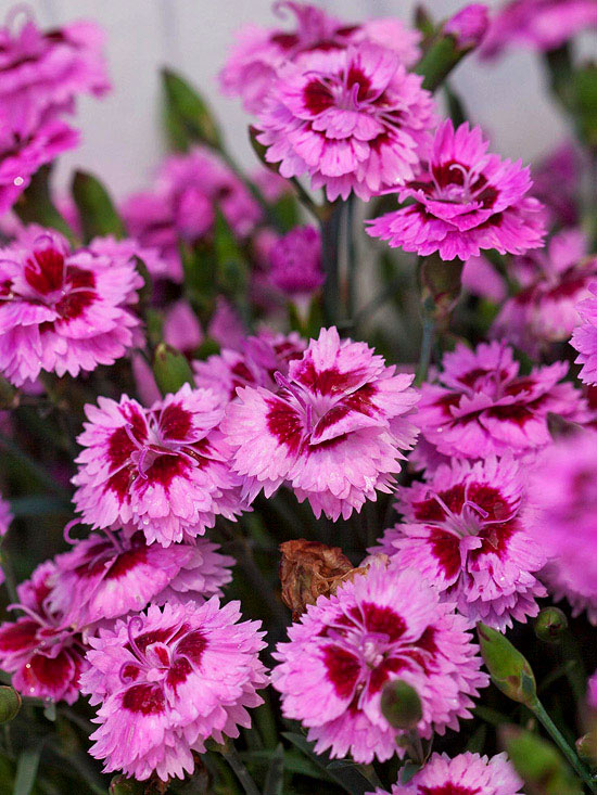 Dianthus 'EverLast Lavender +Eye'