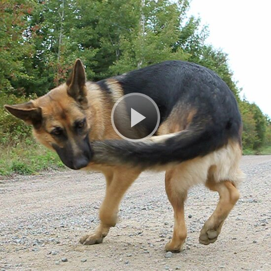 Why Do Dogs Chase Their Tails Better Homes Gardens