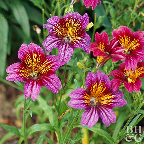 Painted Tongue Salpiglossis sinuata