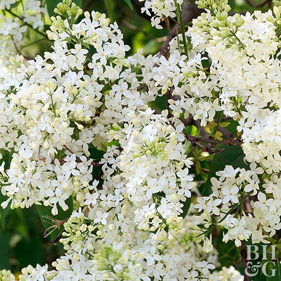 white Mount Baker lilac flowers