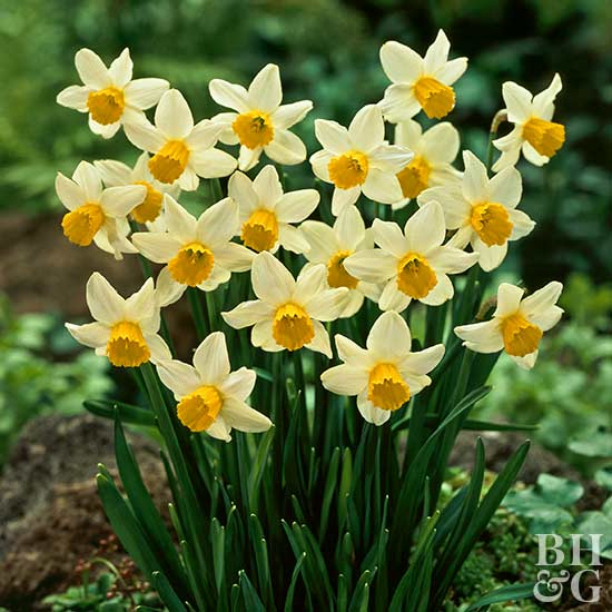 Daffodil, Cyclamineus Types Narcissus