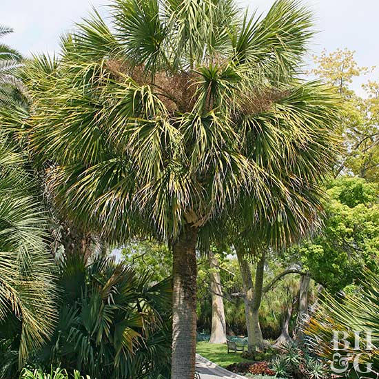 Cabbage palm (Sabal palmetto)