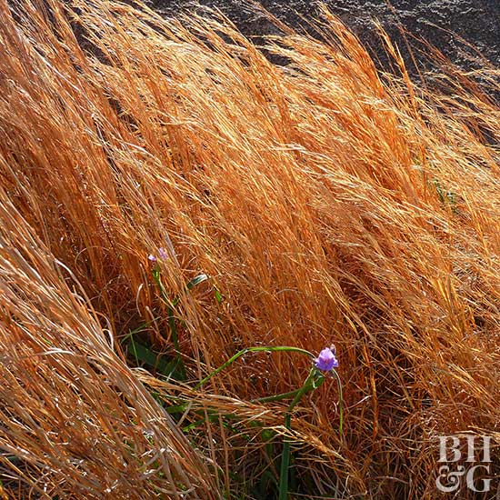 Broomsedge bluestem Andropogon virginicus