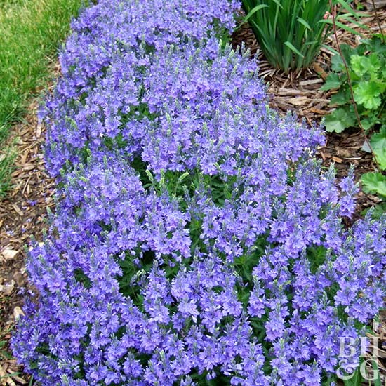 Veronica 'Crater Lake Blue'