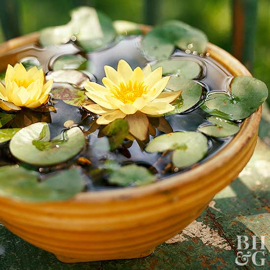 'Helvola' water lily