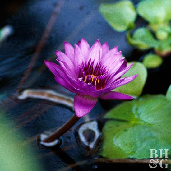 'Midnight' water lily