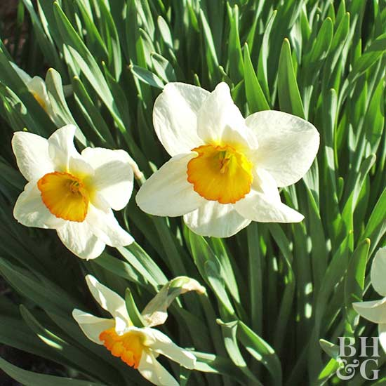 Narcissus Flower Record daffodil