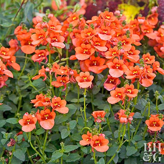 'Flirtation Orange' diascia