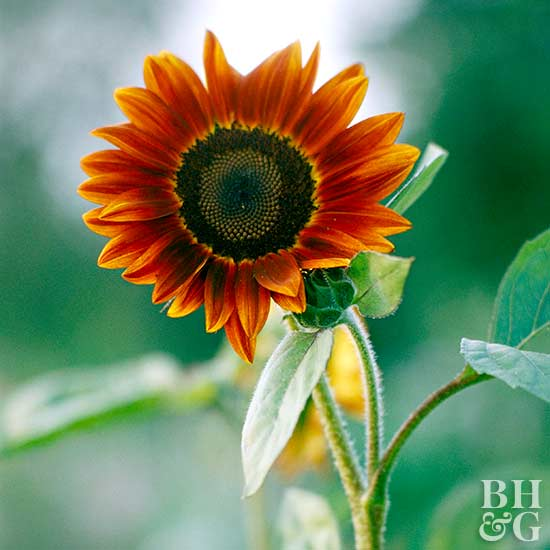 Helianthus 'Velvet Queen' sunflower