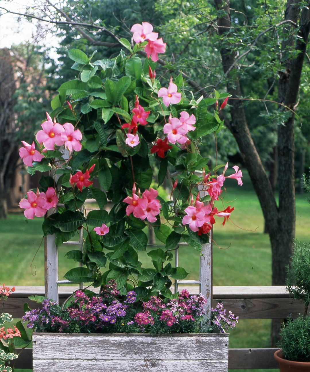 pink Mandevilla flowers in wooden container