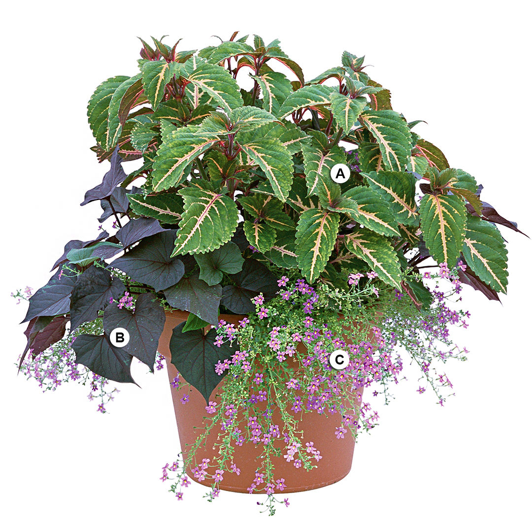 container with coleus bacopa and sweet potato vine
