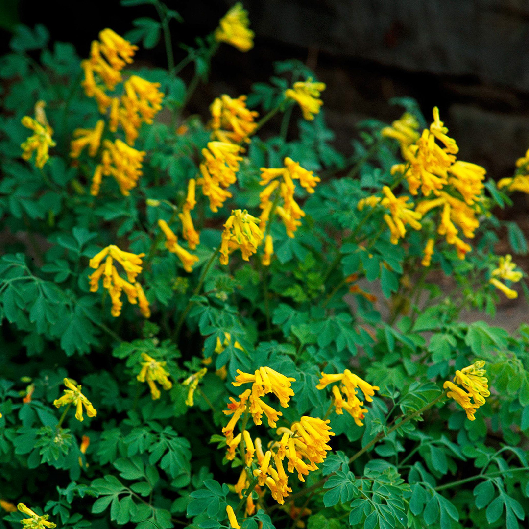yellow corydalis perennials shade plants