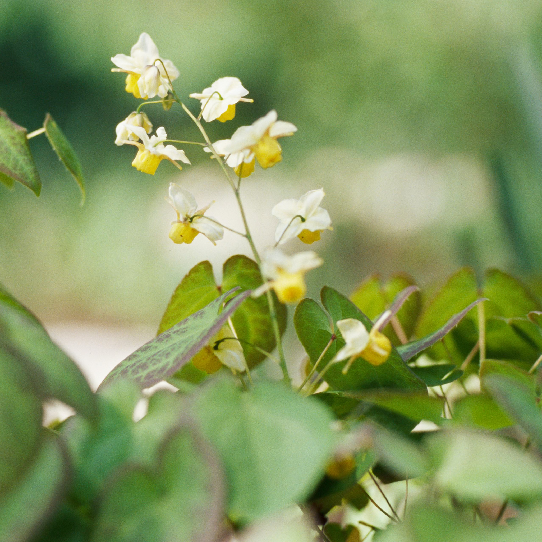 epimedium perennial flowers for shade