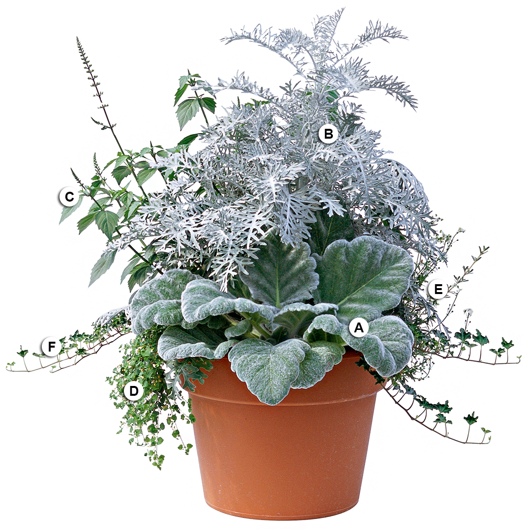 dusty miller silver sage and ivy in pot