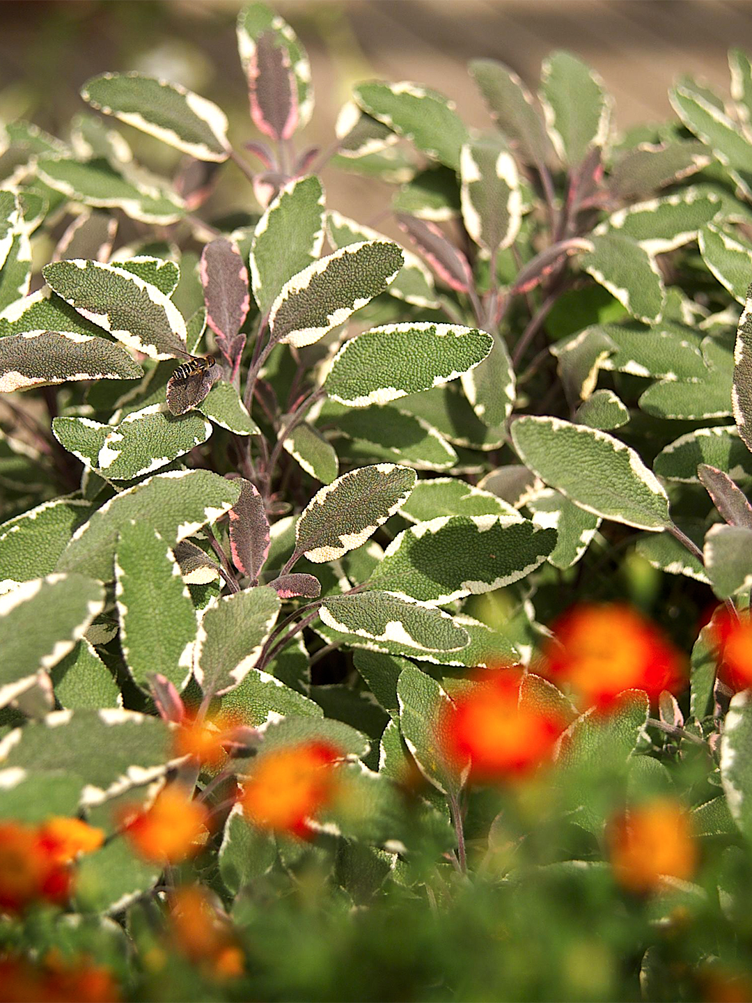 Salvia officinalis 'Tricolor' green leaves with orange flowers