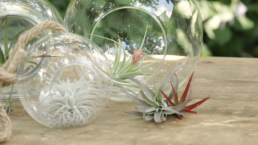 How To Grow and Care For Airplants