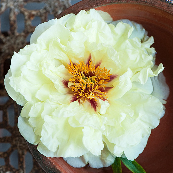 Paeonia ¿Age of Gold¿