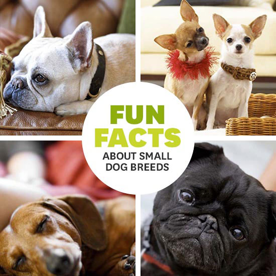 fun facts about small dog breeds