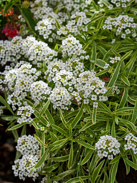 Lobularia 'Frosty Knight'