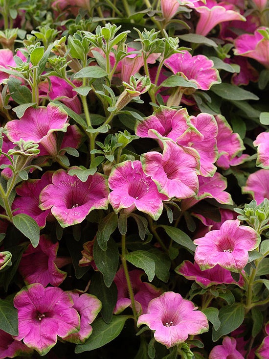 Petunia 'Supertunia Picasso In Pink'