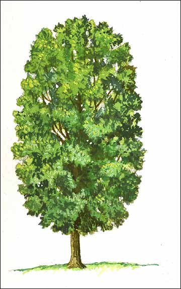 Columnar Tree Illustration