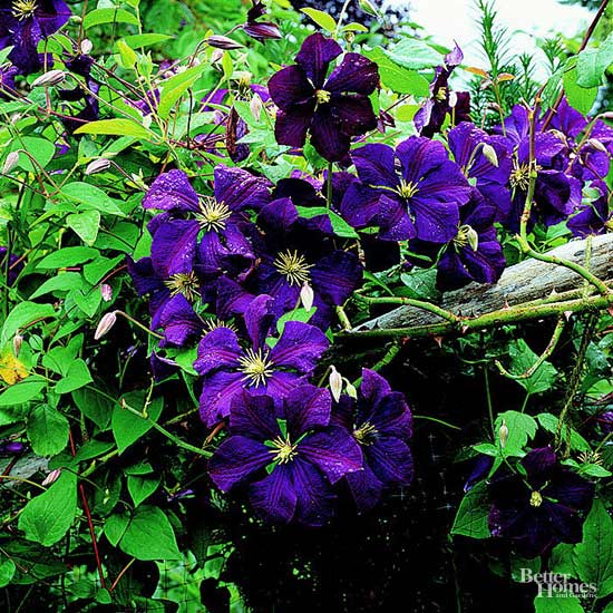 Cavanah gardening showing close up of purple clematis