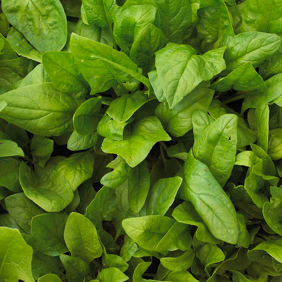 Viroflay spinach