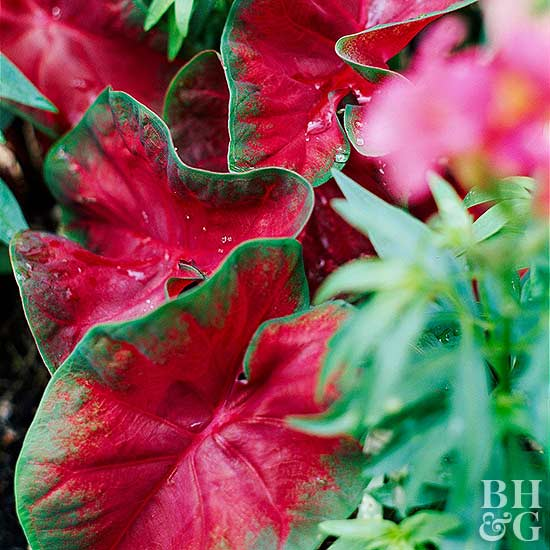 Red and Green Caladium