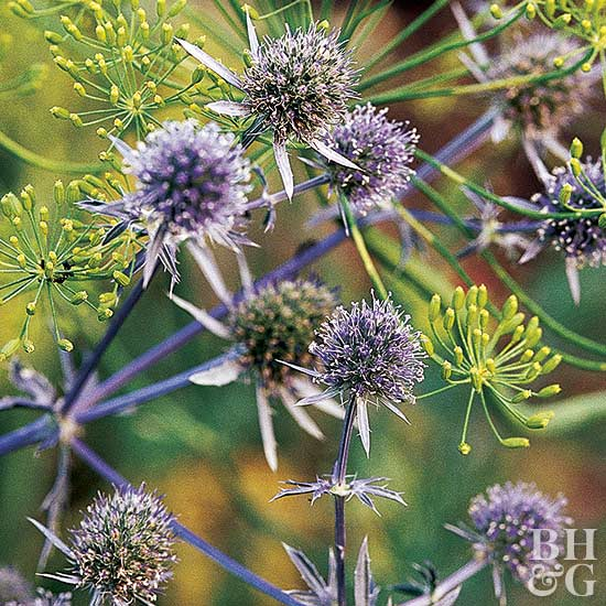 Flat sea holly