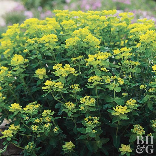Euphorbia, plant, foliage, green flowers, spurge, cushion spurge