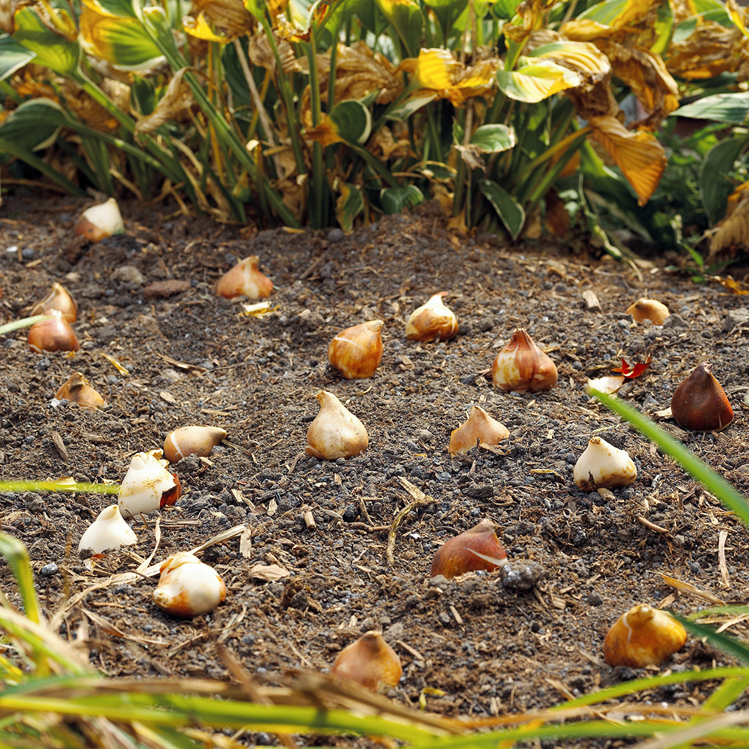 bulbs placed in dirt garden area