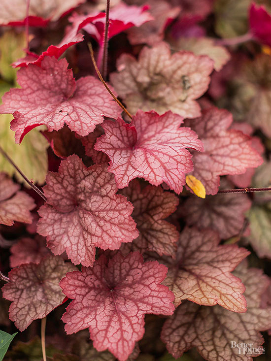 Heuchera 'Georgia Peach'; Bobbi Schwartz three season garden