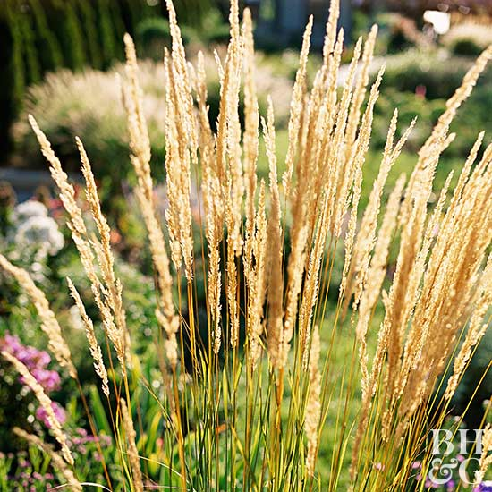 Calamagrostis, feather reed grass