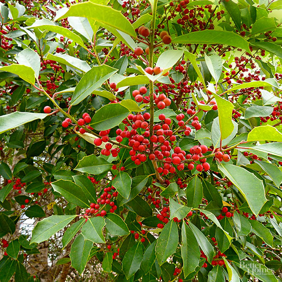 Yaupon Holly