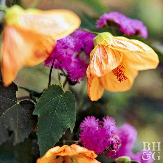 flowering maple Abutilon Ageratum 'Blue Horizon'
