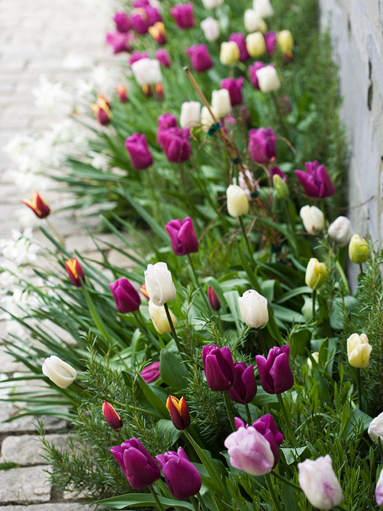 Tulips, purple and white flowers, stone walkway, stone wall