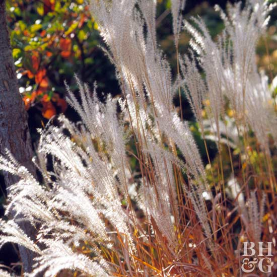 Purple miscanthus, Grass, Ornamental Grass, Landscape