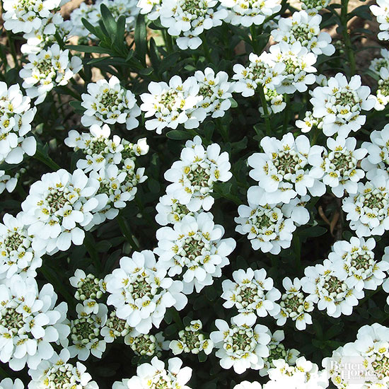 Candytuft white flowers