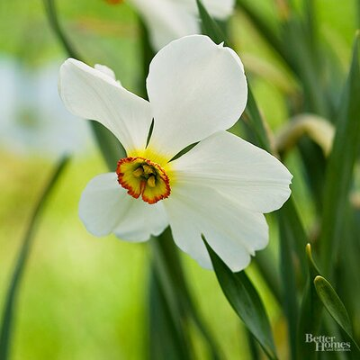 More Interesting Than Food Narcissus >> Daffodil Poet Types Better Homes Gardens