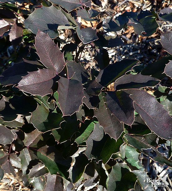 Creeping Mahonia