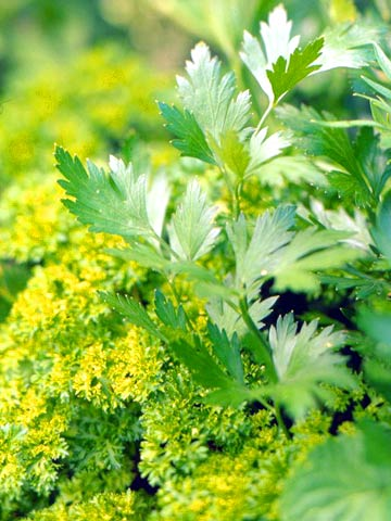 Green_Yellow Green Clustered Foilage With Mint Leaves