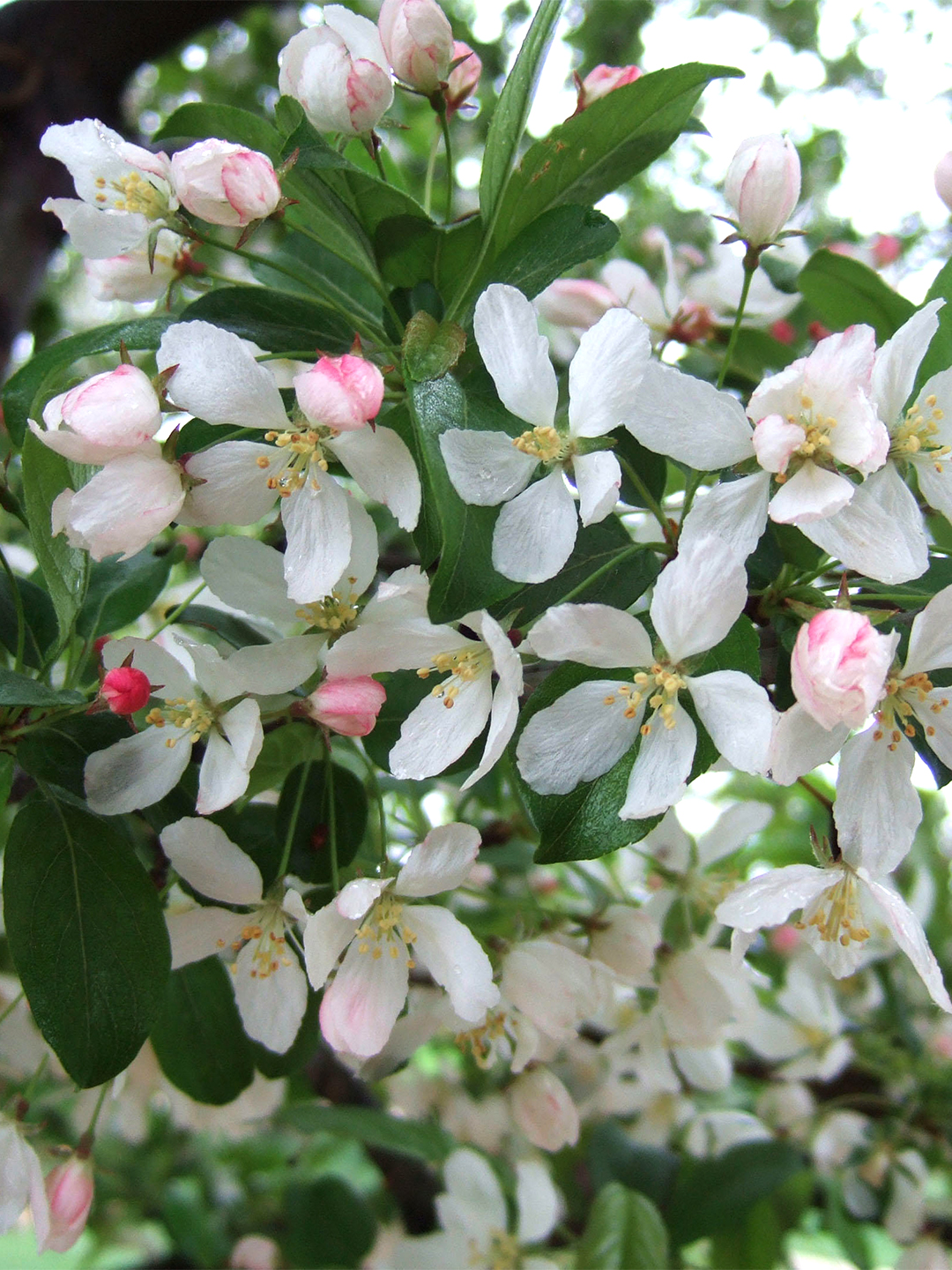 Harvest Gold crabapple blooms with pink and white flowers