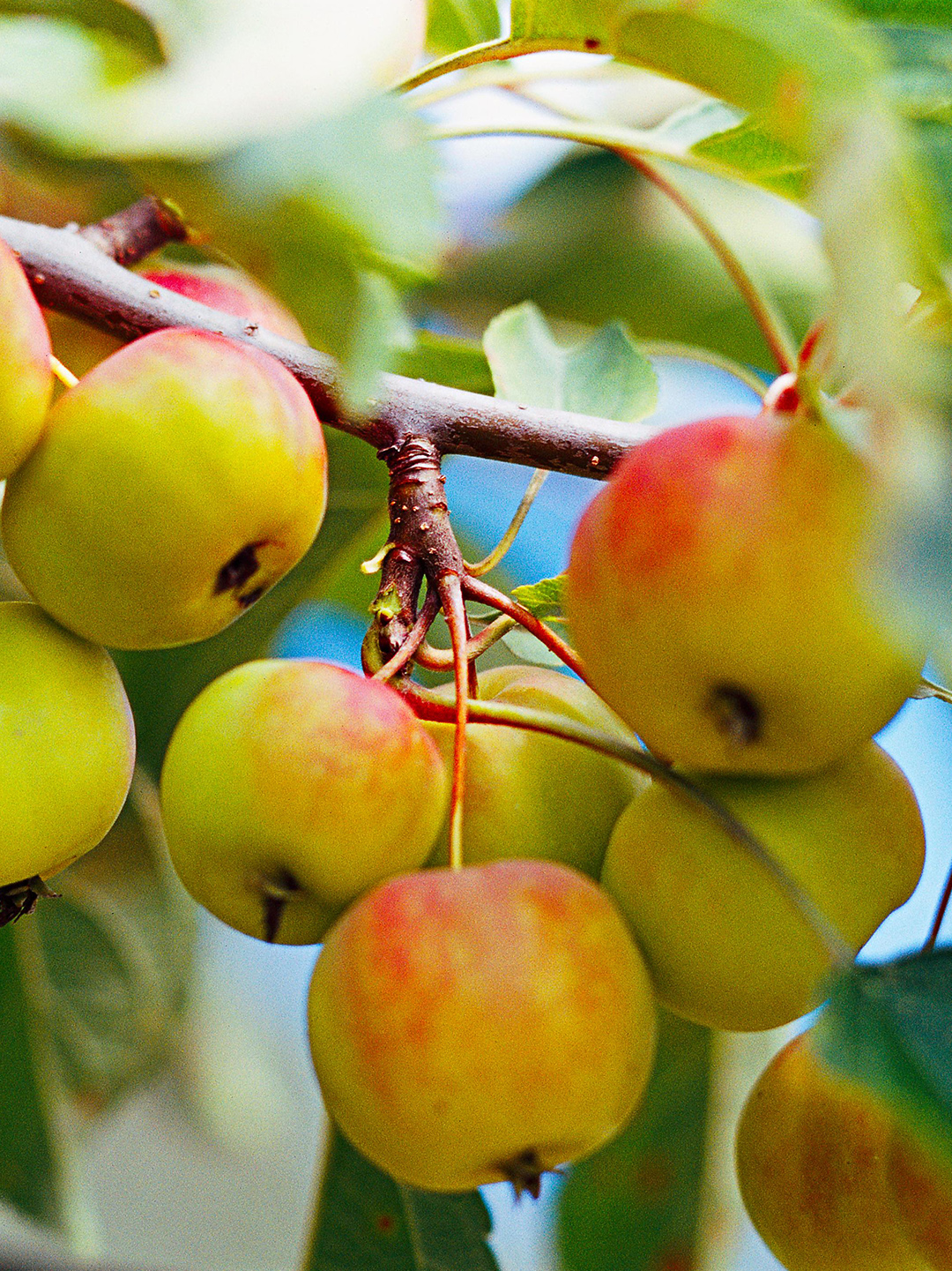 Ralph Shay crabapple fruits growing in bunch on tree